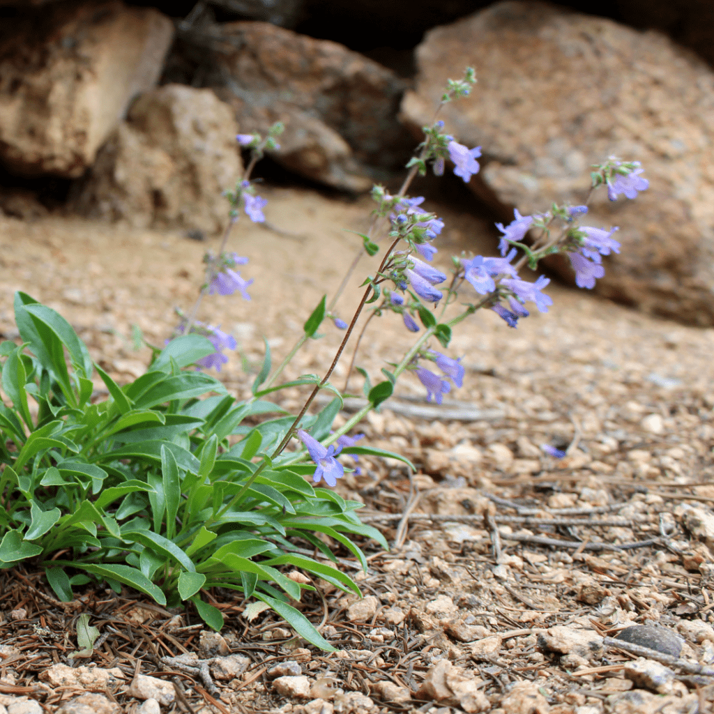 The Dainty Blue Petals Of The Red Canyon Penstemon Sway In The Wind